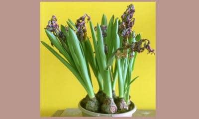 uitgebloeide bloembollen, hier hyacinten