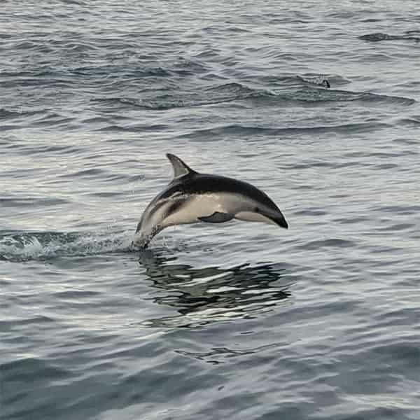 Dolfijnen spotten tijdens onze roadtrip over het Zuidereiland van Nieuw Zeeland