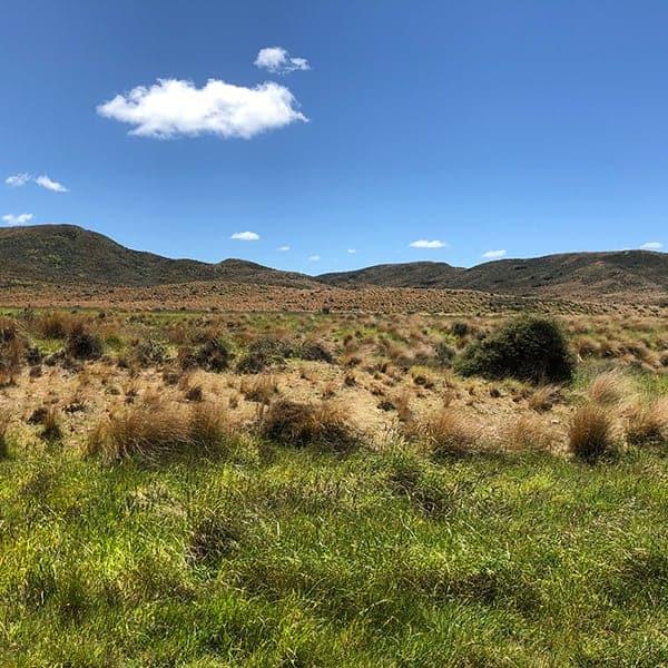 Tussock is een hard soort gras, wat veel voorkomt op het Zuidereiland van Nieuw Zeeland. Dit is de rode variant, Red Tussock