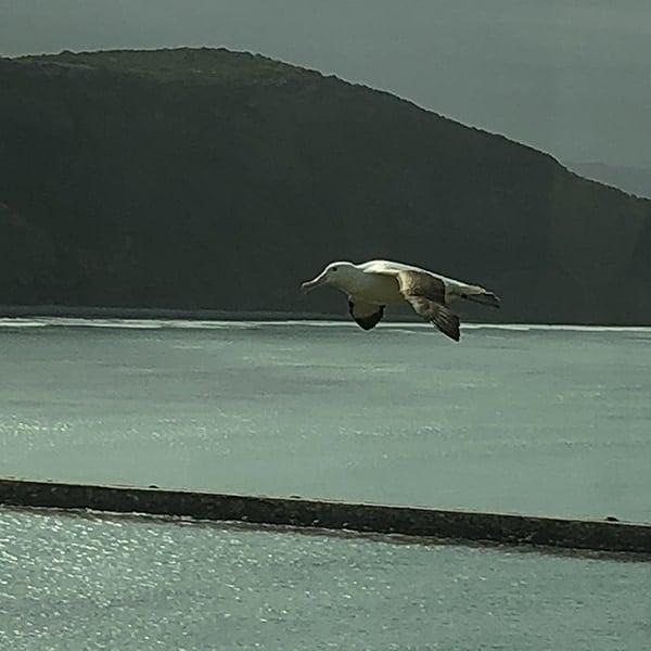 Albatros in vlucht op het Otago Peninsula op het Zuidereiland van Nieuw Zeeland