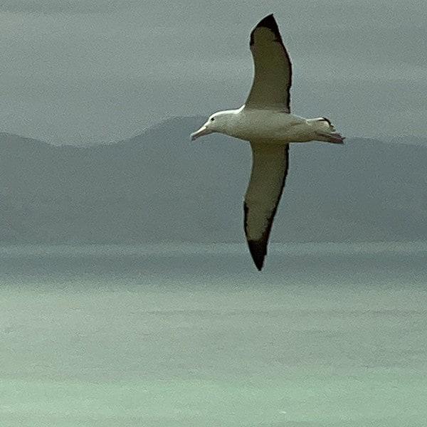 Een albatros in vlucht