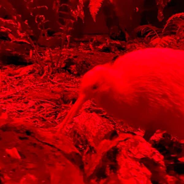 Kiwi onder rood licht in het Pukaha Wildlife Center