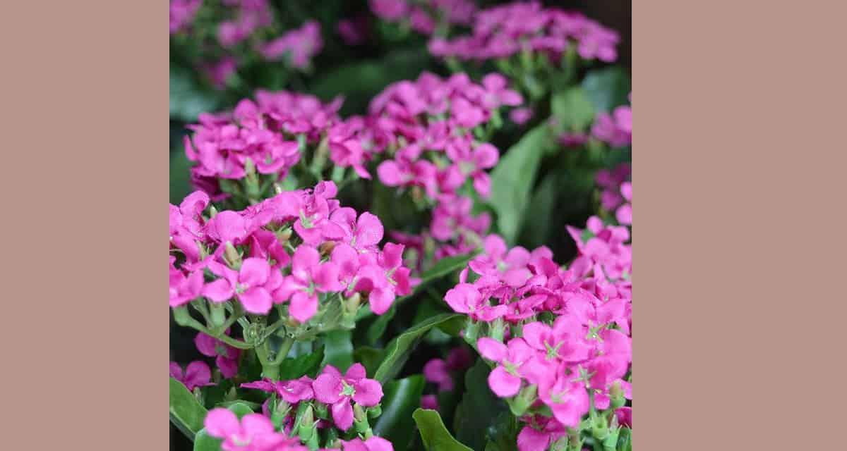 Nepplanten, dé truc voor plantenkillers