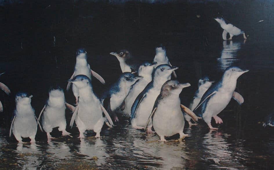 Tijdens onze reis door Australië met een camper zagen we hele kleine pinguins op Phillip Island.